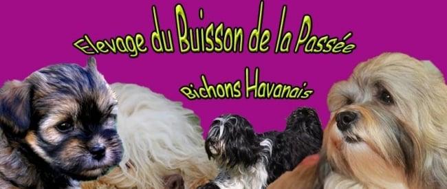 ELEVAGE DE BICHONS HAVANAIS DU BUISSON DE LA PASSEE