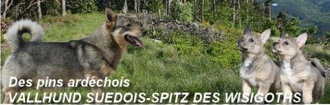 VALLHUND SUEDOIS-SPITZ DES WISIGOTHS